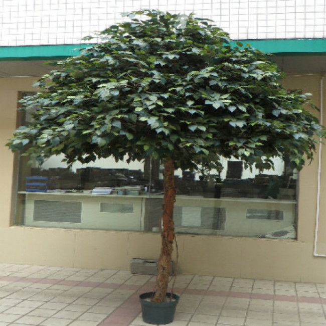 FICUS PREMIUM DELUXE GIANT CANOPY TREE 3.5M WITH 11760 LEAVES