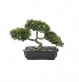 BONSAI CONIFER 20CM POTTED