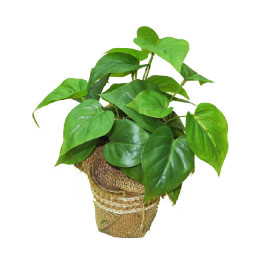 NWTURF PHILO PLANT POTTED 25CM